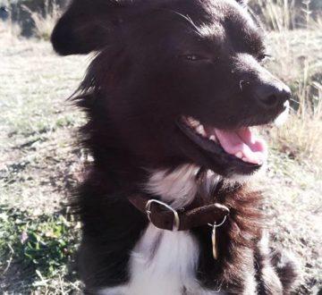 DIXIE, procedente de la perrera de Baza (Granada). Se escapó en Barcelona recién acogida pero ya la tenemos de vuelta. Apenas 1 añito de puro amor y ternura.