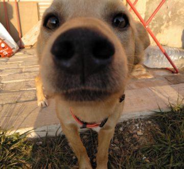 ZIPI, un simpático y jovencito rescatado del abandono entre viñedos. Mezcla de labrador y podenco, muy dulce y cariñoso.