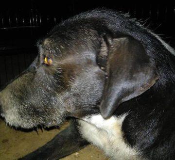 Monti, un grandullón que estuvo más de 2 años abandonado. Con mucho miedo aún, pero ¡ya disfrutando de su hogar!